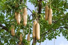Kigelia Africana, Sausage Tree...
