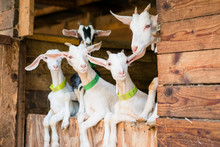 Jeune Chèvres Blanche Sur Por...