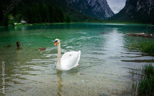 Schwan und Ente auf dem Toblacher See-1