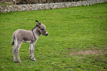 Baby Donkey In A Field