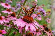 Monarch Butterfly And Bee On P...