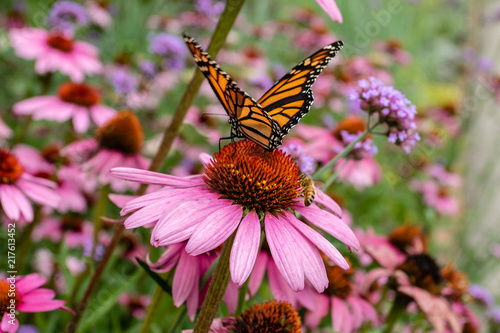 Fotografia Monarch butterfly and bee on purple coneflower