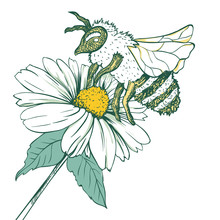 Entomology Sketch Illustration With Bee Or Wasp And Camomile Flower. Blossoming And Pollination. Botanical Or Medical Theme. Isolated On White Background