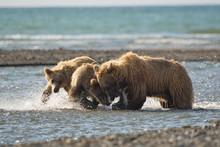 Alaskan Brown Bear - Grizzly - ( Ursus Arctos ) And Cubs