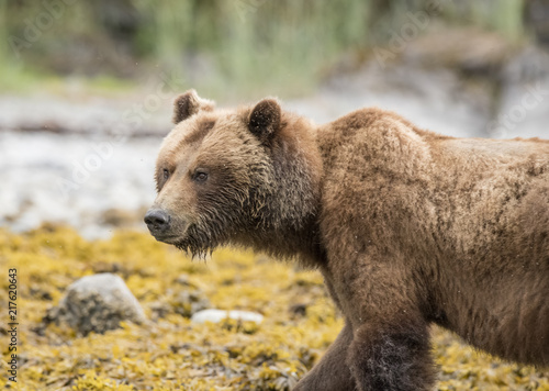 Fotografie, Obraz  Brown Bear Beach Foraging, Glacier Bay, Alaska