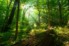 Rays Of Sunlight Shining Through  Green Forest