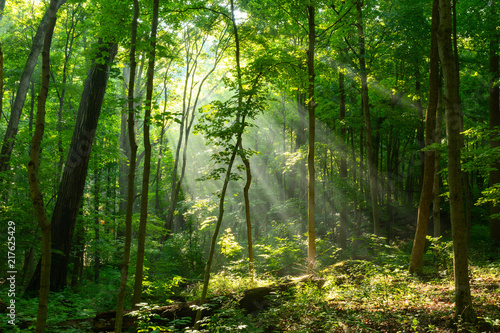 Morning sunlight beaming through misty forest