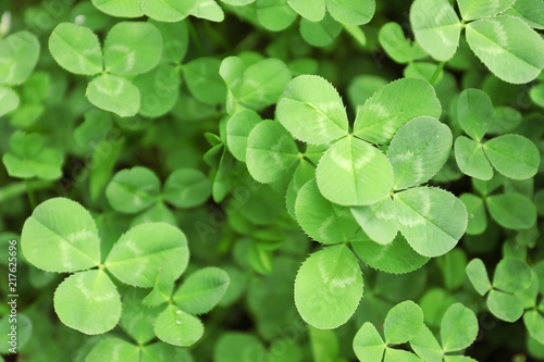 Canvas Print Green clover leaves as background