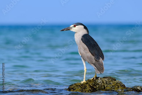 Hawaiian Black Crowned Night Heron (Nycticorax nycticoras) or Auku'u perched on a lava rock off the coast of Hawaii as it hunts for fish