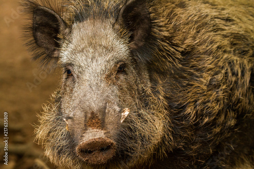 Fototapety, obrazy: Wild boar