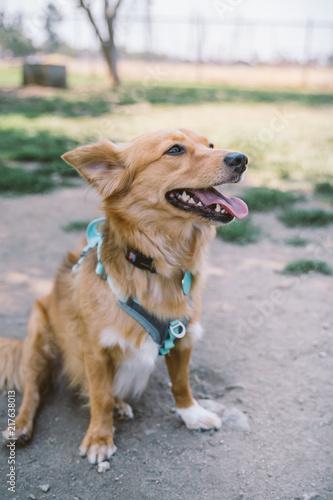 meet 34adb 98f2a Golden Sheltie Doxie Mix dog at the park