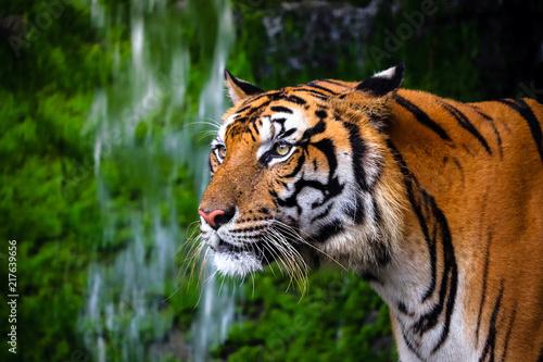 Fotografija close up portrait of beautiful bengal tiger with lush green habitat background