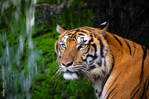 Canvas Print close up portrait of beautiful bengal tiger with lush green habitat background