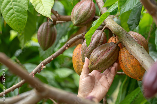 Cacao fruit, Fresh cocoa pod in hands, Cocoa pod on tree