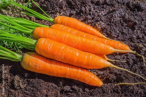 Fresh carrot in the garden