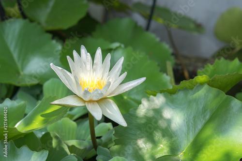 Foto op Canvas Lotusbloem Photo of white lotus blooming