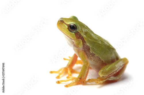 Foto op Aluminium Kikker Small tree frog is looking up
