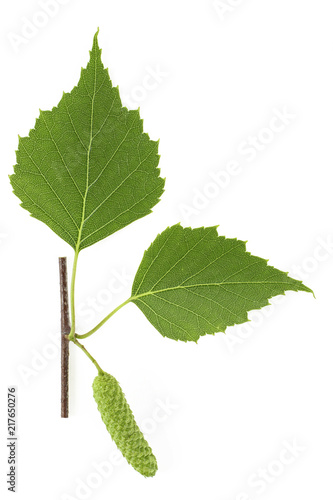 Branch of birch tree with green leaves and catkins isolated on white background