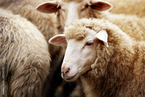 Photo sur Aluminium Sheep Sheep muzzle outdoors. Standing and staring breeding agriculture animal