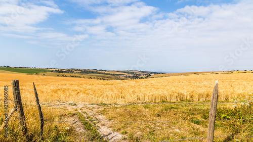 Fotobehang Cultuur Landscape withdry barley fields in Hampshire, England, United Kingdom
