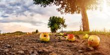 Überreife Äpfel Fallen Vom B...