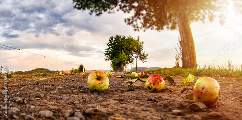 Valokuva  Überreife Äpfel fallen vom Baum und liegen auf Boden