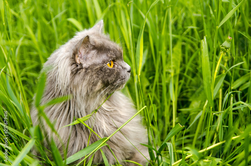 Fotografie, Obraz  Gray british cat in green grass.