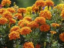 Tagetes Erecta. Roses D'Inde Parentes De L'oeillet D'Inde