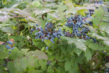 The Garden Bush With Bright Blue Berries