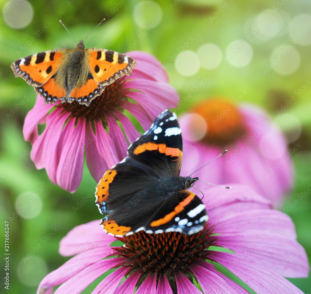 Schmetterling Admiral und Kleiner Fuchs auf der Heilpflanze Sonnenhut
