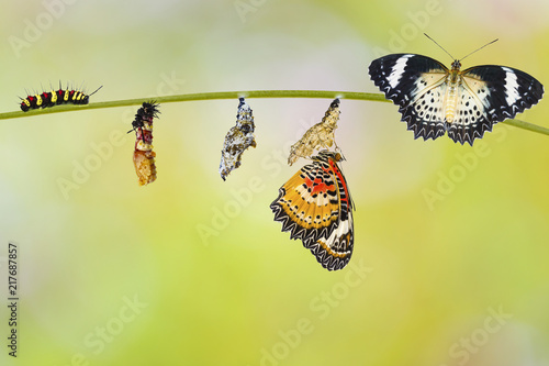 Transformation from caterpillar of Leopard lacewing butterfly ( Cethosia cyane euanthes ) molting papa and chrysalis hanging on twig