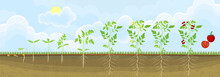 Life Cycle Of Tomato Plant. Stages Of Growth From Seed And Sprout To Adult Plant With Fruits