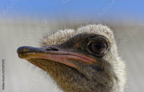 Wall Murals Ostrich The head of an ostrich close-up on a blurred background. Red beak, surprised big eyes and tousled bristles. Shallow depth of field.