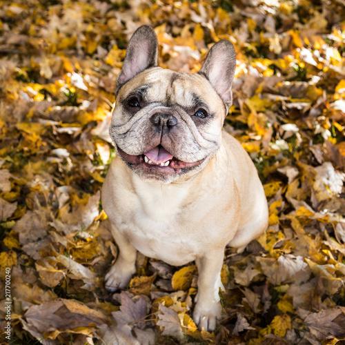 Foto op Plexiglas Franse bulldog Portrait of Fawn French Bulldog Sitting on Autumn Leaves.