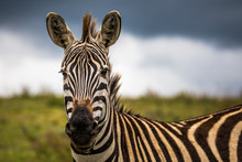A Portrait Of A Zebra In The Ngogongoro Crater In Tanzania, With A Storm Approaching.