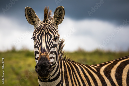 Photo Stands Zebra A portrait of a zebra in the Ngogongoro Crater in Tanzania, with a storm approaching.