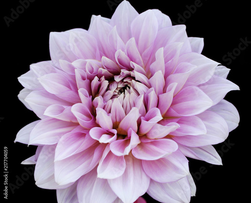 Blossom of pink dahlia isolated on black background. Macro picture.
