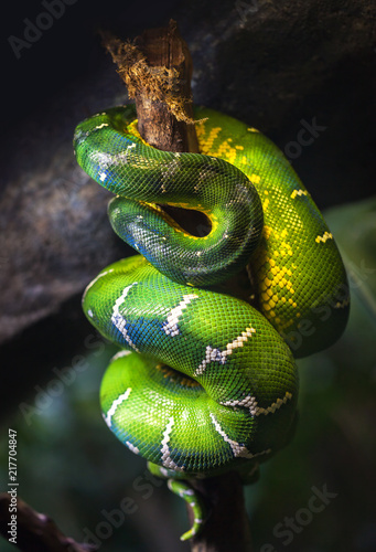 A large green boa slept on a tree branch curled up.