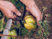 Farmer Cutting Tomato From Branch
