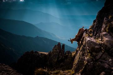 Kozice wbiegają pod górę w dzikich górach, Wysokie Tatry, Słowacja