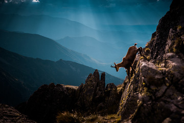 Chamois run up hill in wild mountians, High Tatras, Slovakia