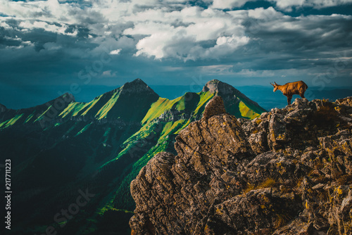Chamois on the top of the mountains, green hills and dark sky in background