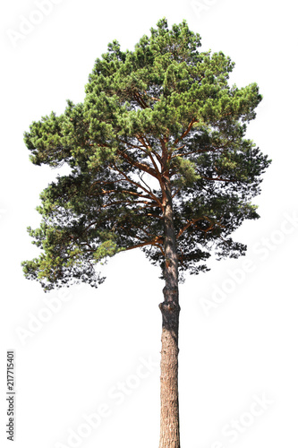 Pine tree isolated. Coniferous forest
