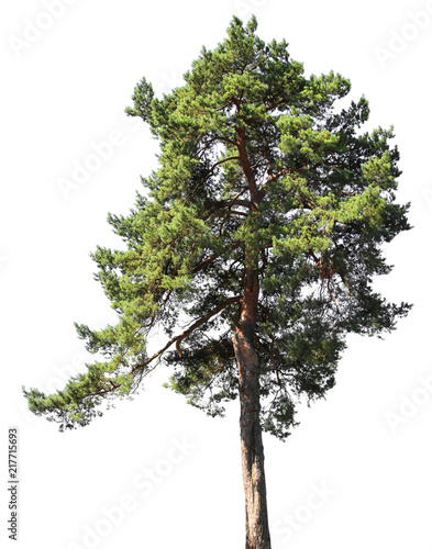Pine tree, isolated on white background