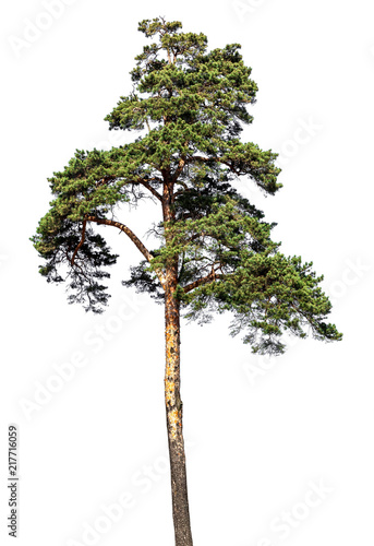 Scotch fir, pine conifer tree, pine-tree isolated