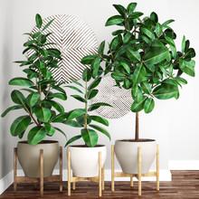 Ficus Elastica Tree In Pot