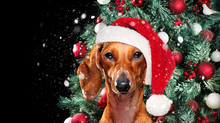 Dachshund In A Christmas Hat Against Decorated Christmas Tree Backgound