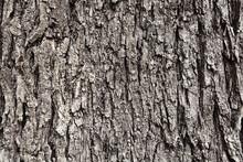 Gray Bark Of Old Tree, Texture...