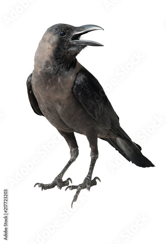 Canvas Print Photo of a crow. Isolated on white background
