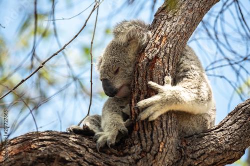 Staande foto Koala Koala-Bär in freier Wildbahn